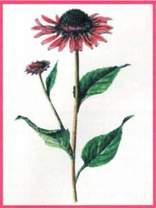 Цветок-иммунолог эхинацея пурпурная