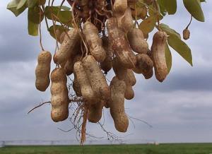Польза орехов:арахис,миндаль,фисташки